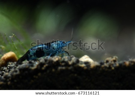 Black sushi dwarf shrimp that bleary background.Black sushi dwarf shrimp that plants background. #673116121
