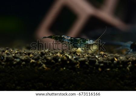 Black sushi dwarf shrimp that bleary background.Black sushi dwarf shrimp that plants background.Shrimp in freshwater. Aquartic animals. #673116166
