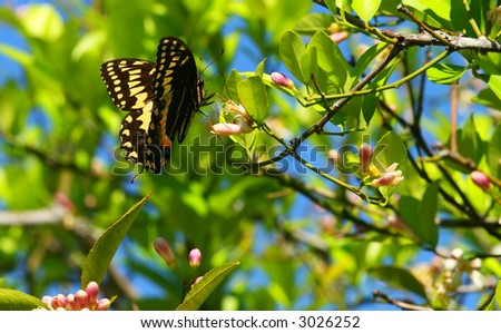 Black Swallowtail Butterfly (Papilio polyxenes) and citrus blossoms.