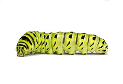 Black Swallowtail Caterpillar (Papilio polyxenes) isolated on a white background
