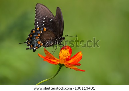 Black Swallowtail on Flower