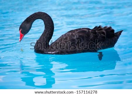 Stock Photo Black Swan