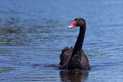 Black Swan Cygnus Atratus captured in Australia.