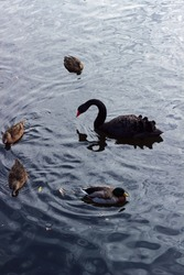 Black swan, drake and ducks swim in the pond, plumage, beaks, ripples, reflections in the water, graceful swan, habitat, leaves in the water, gray-brown ducks, motley plumage of a drake