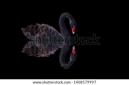 Photo of  Black swan isolated  on black background (Cygnus atratus)