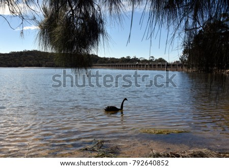 Black swan on Manly Dam. Bird swan bird goose. The black swan is a large water bird a species of swan which breeds mainly in the southeast and southwest regions of Australia. #792640852