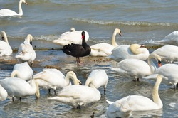 Black swan standing out amongst white swans