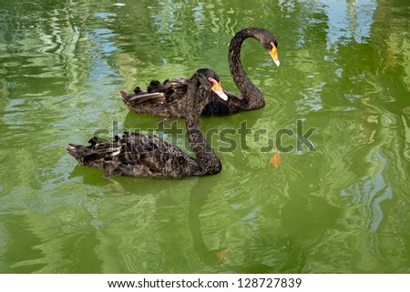 Black Swan swimming.