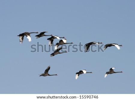 black swans in flight formation nsw australia