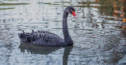 Black swans - Like other weel-billed swans, black swans lose all their remiges at the same time during moulting and cannot fly for about 4-5 weeks.
