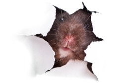 Black Syrian hamster looking through the ragged hole in the paper