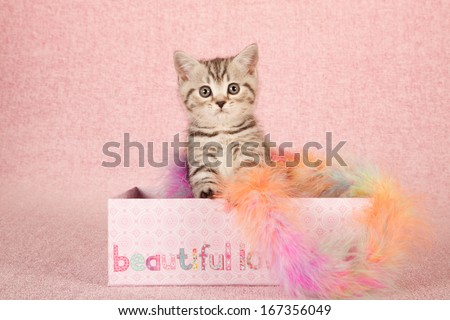 Black tabby kitten sitting inside pink gift box container with colorful feather boa on pink background