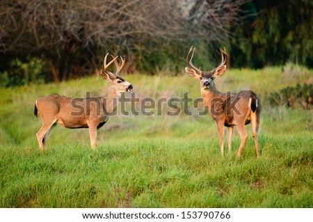 Black-tailed deer bucks