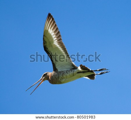 Black-tailed Godwit - stock photo