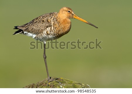 Black Tailed Godwit at a green background