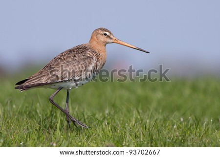 Black tailed Godwit Close-up