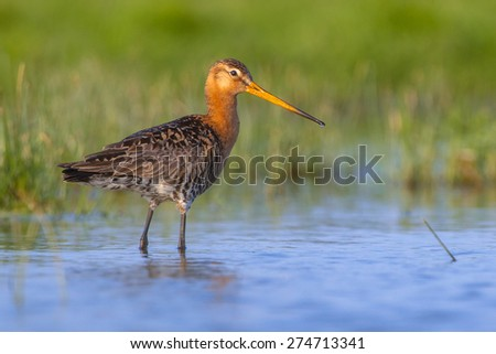 Black-tailed Godwit (Limosa limosa) one of the wader bird target species in dutch nature protection projects