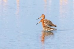 Black Tailed Godwit (Limosa limosa) Wader Birds Foraging in shallow water