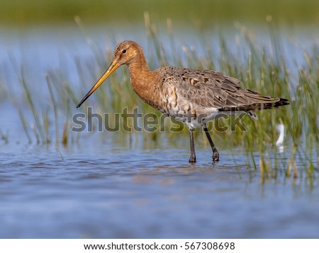 Black-tailed Godwit (Limosa limosa) wading in shallow water on a sunny day. This is one of the wader bird target species in dutch nature protection projects
