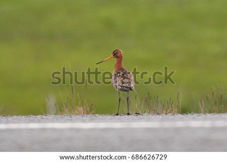 Black-tailed godwit standing on a road margin. A rare and endangered european bird on a close up horizontal picture.