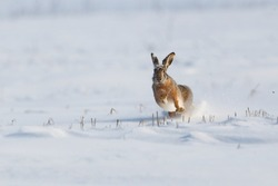 Black-tailed Jackrabbit running in the snow field near Buzau city,Romania
