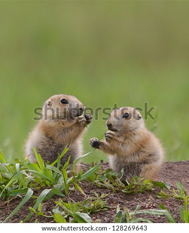 Black Tailed Prairie Dog babies playing eating and interacting at their hole in Custer State Park, South Dakota Cynomys ludovicianus grassland habitat environment wildlife and nature photography