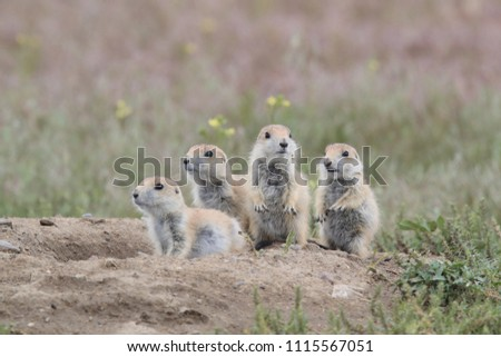 Black Tailed Prairie Dog babies playing eating and interacting at their hole in First Peoples Buffalo Jump State Park Montana USA ストックフォト ©