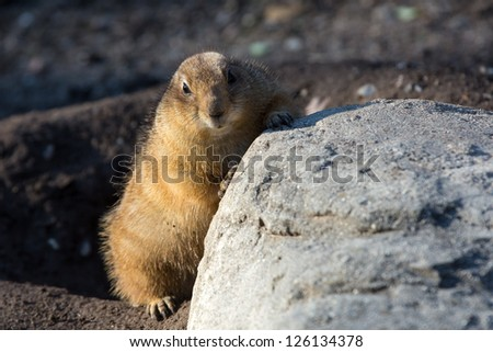 Black-tailed Prairie Dog, Cynomys ludovicianus,captive