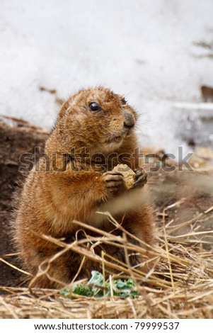 Black-tailed Prairie Dog, Cynomys ludovicianus, captive