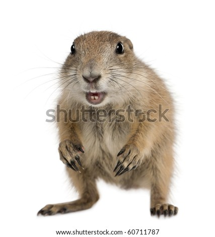 Black-tailed prairie dog, Cynomys ludovicianus, standing in front of white background - stock photo