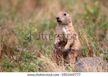Black-tailed prairie dog (Cynomys ludovicianus), Wichita Mountains National Wildlife Refuge, Oklahoma, USA ストックフォト ©