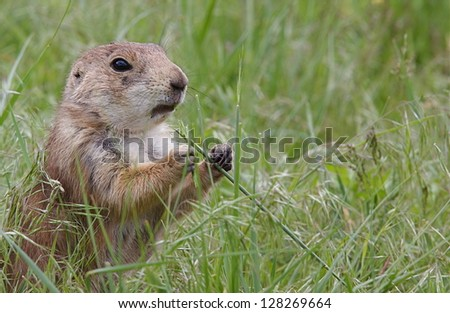 Black Tailed Prairie Dog feeding, Custer State Park, South Dakota Cynomys ludovicianus grassland habitat environment wildlife and nature photography Cynomys ludovicianus