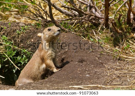 Black-tailed Prairie Dog peeking out of its hole (Captive)