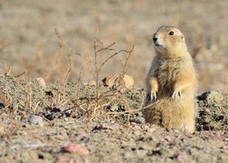 Black-Tailed Prairie Dog perched on a borrow opening on a Prairie Dog town.