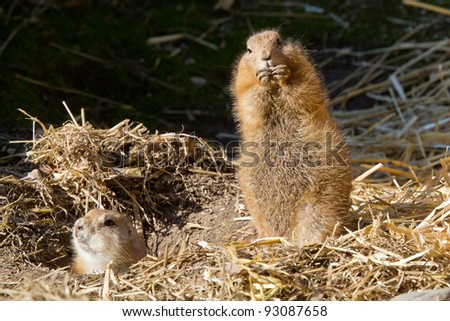 Black-tailed Prairie Dog, Suricata suricatta, captive