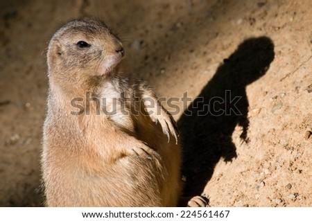 black-tailed prairie dog with shadow