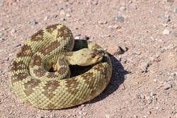 Black-tailed Rattlesnake (Crotalus molossus) snake