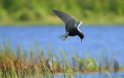 Black tern (Chlidonias niger) in fly spreading wings
