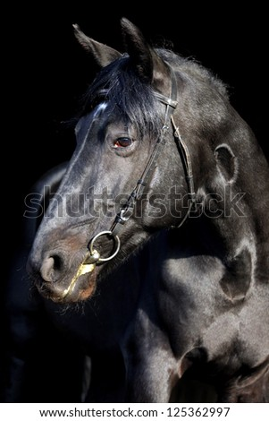 Black Thoroughbred horse in dark stable