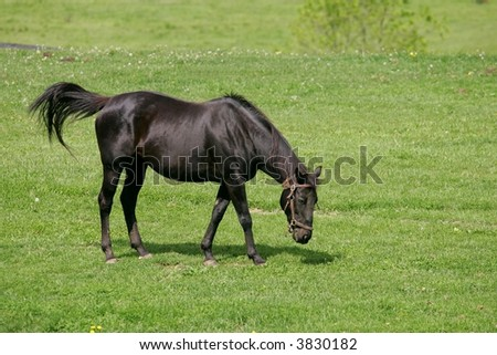 black thoroughbred racehorse. stock photo : Black Thoroughbred race Horse on Farm
