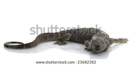 White Throat Monitor vs Black Throat Monitor Black Throat Monitor Lizard
