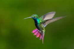 Black-throated Mango hummingbird hovering in the air.