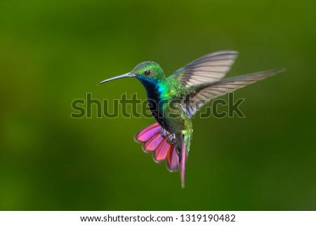 Black-throated Mango hummingbird hovering in the air. Stock photo ©