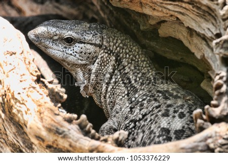 Black Throated Monitor, Varanus a. albigularis, Zimbabwe #1053376229