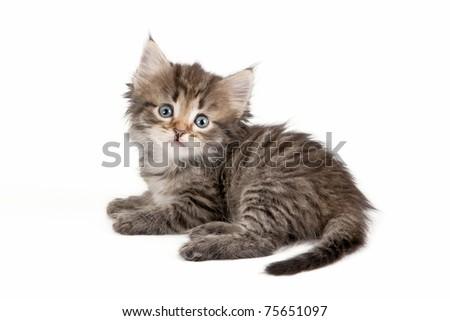 Black tiger siberian kitten on white background