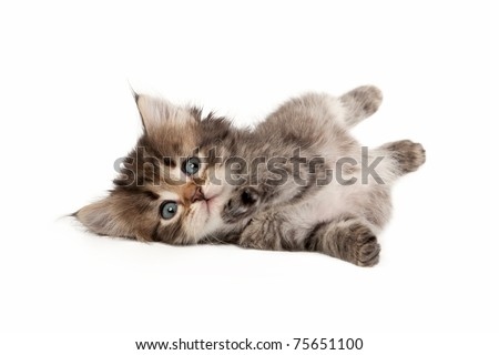 Black tiger siberian kitten on white background