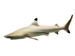 Black tip reef shark isolated on white