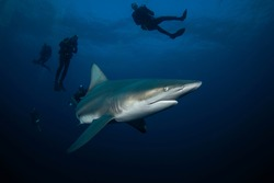 Black tip shark during dive. Sharks in South Africa. Marine life in Indian ocean.