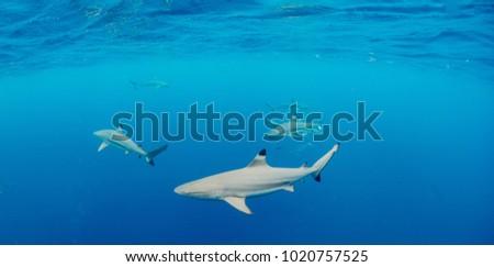 Black Tip Shark Palau