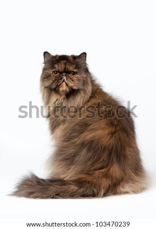 Black tortoise persian female cat on white background